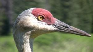 cranehead4small
