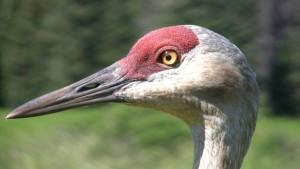 cranehead4small-L