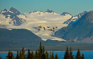 Lesser Sandhill Cranes fly by Grewingk Glacier in Kachemak Bay State Park across from Homer.
